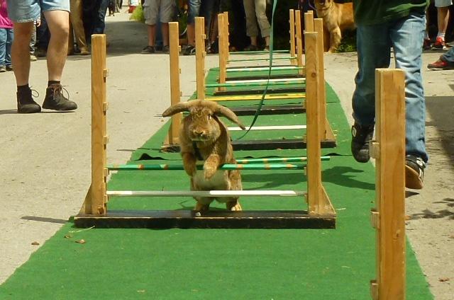 10-das-erste-kaninchen-springt-sehr-gut